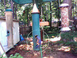 Bluebird on Feeder #2 07-24-2007