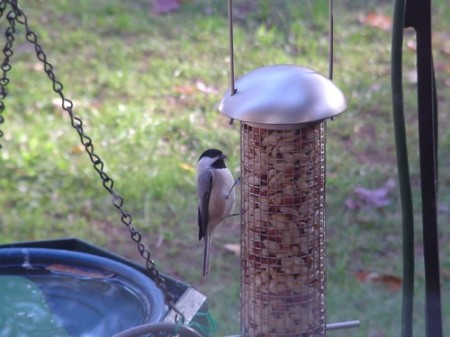 Chickadee #1 11-29-2007