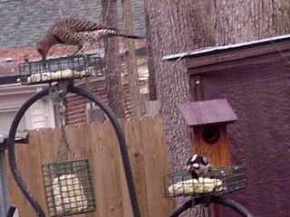 Flicker and Downy eating suet 01-27-2007