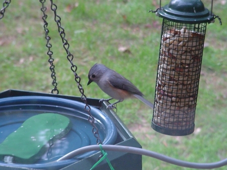 Titmouse getting water