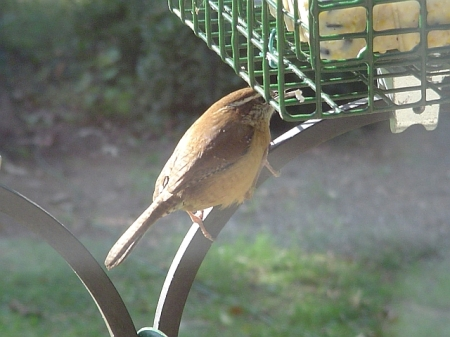 Wren Eating Suet
