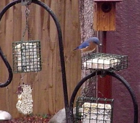Bluebird on Suet Feeder 02-12-2007