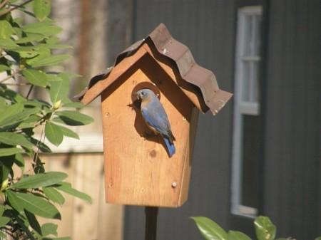 Bluebird Pics 00021