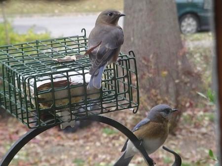 Bluebirds #1 12-04-2007