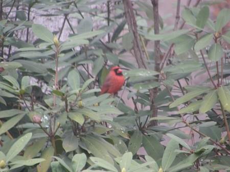 Cardinal-12-13-2007-002