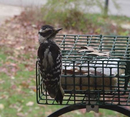 Downy Woodpecker #1 12-04-2007