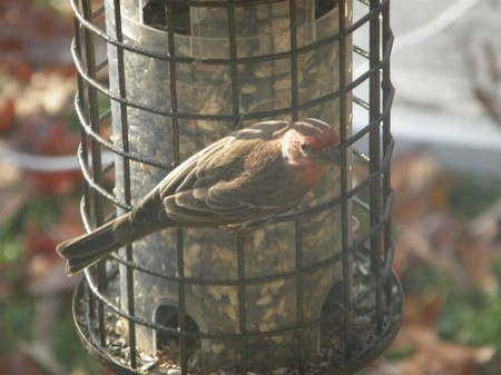 House Finch 12-12-2007