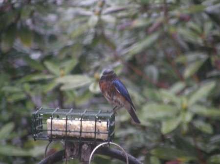 Wet Bluebird