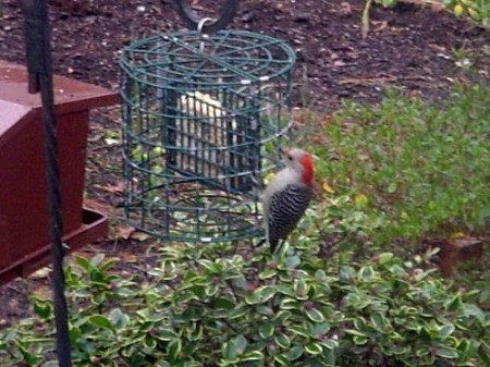 Red-bellied Woodpecker 01-22-2006