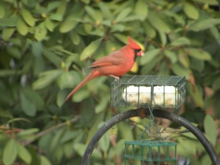 Cardinal eating suet