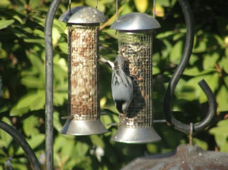 Nuthatch eating seed mix