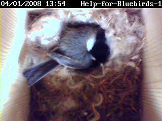 Chickadee 04-01-2008