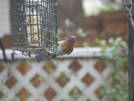 Suet breakfast of bluebirds 04-06-2008