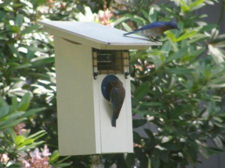 B-B checking out nestcam box 05-25-2006