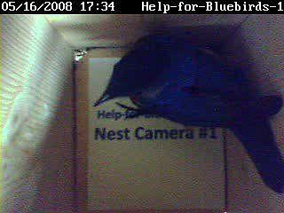 Male Eastern bluebird house hunting 05-16-2008