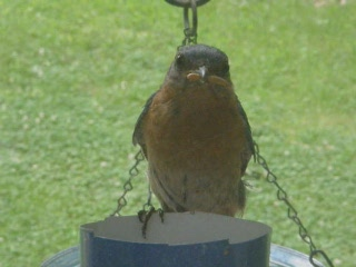 Bluebird eating mealworms 01