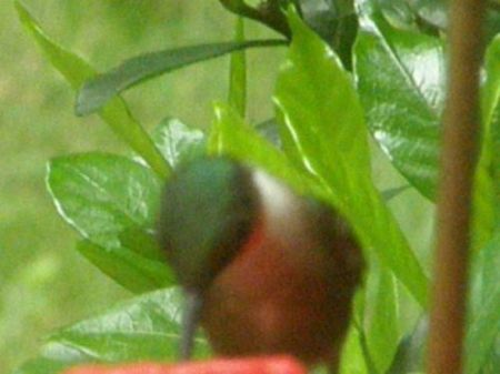 Hummingbird tanking up 07-14-2008