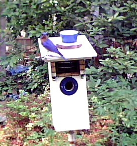 Bluebird #1