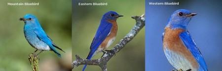 Bluebird Species