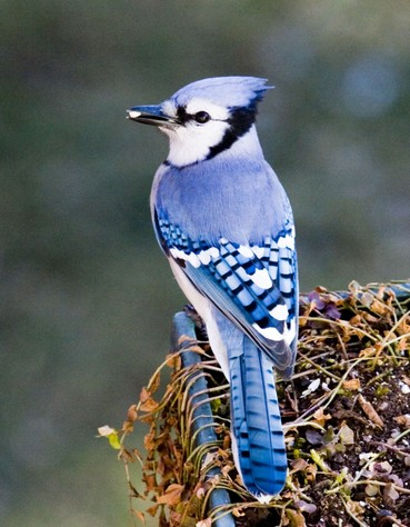 Bluejay_sized